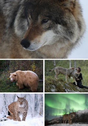 Le Polar Park près de Narvik permet de côtoyer de très près, dans leur habitat naturel, les animaux sauvages du grand nord norvégien. Photo 1: Loup par Roger Johansen Photo 2: Ourse par Ludovic Bischoff Photo 3: Embrasser un loup, photo par Ludovic Bischoff Photo 4: Lynx de Polar Park Photo 5: Aurora wolf, photo par Peter Rosen